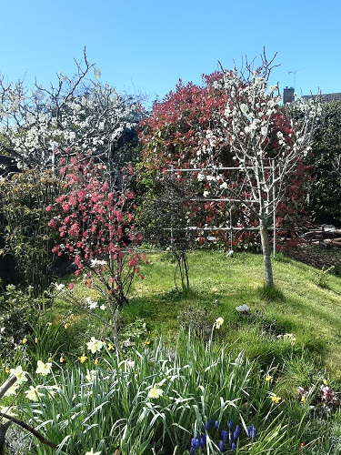 A view of a spring garden with blossom and daffodils