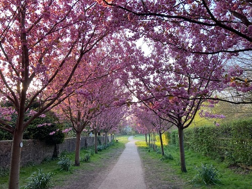 An avenue of cherry trees with full pink blossom