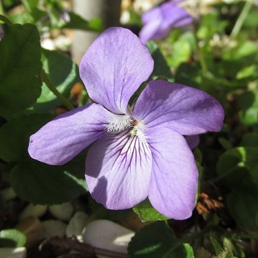 A close up of a Common Dog violet
