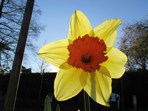 A single daffodil, yellow with orange trumpet back lit by the late afternoon sun