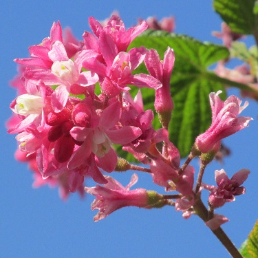 A close up of pink flowering currant blossom