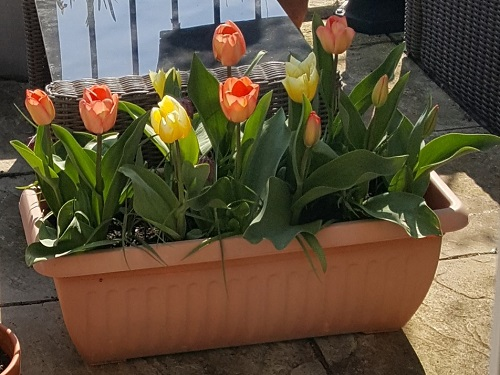 Tulips in a trough