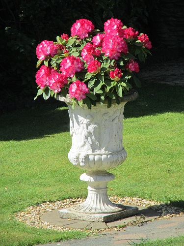 A pink rhododendron in an urn
