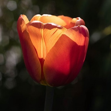 A close up of a backlit tulip head