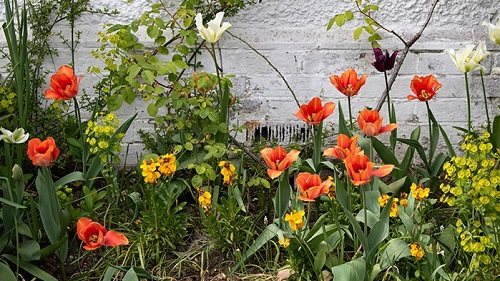 A border including orange tulips and euphorbia against a white wall