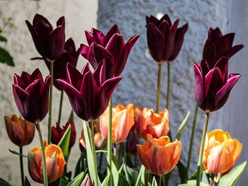 Orangy and maroon tulips