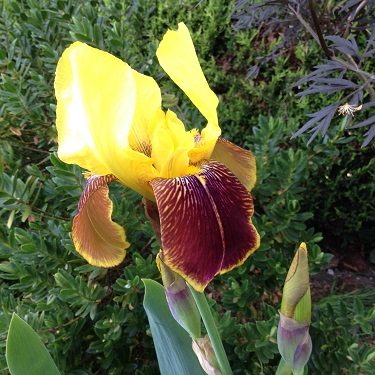 A yellow and burgundy iris bloom