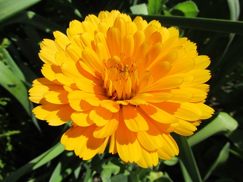 A variety of orange Calendula