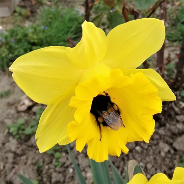 A yellow daffodil with a bee in the trumpet
