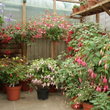 Lots of fuchsia plants in a greenhouse