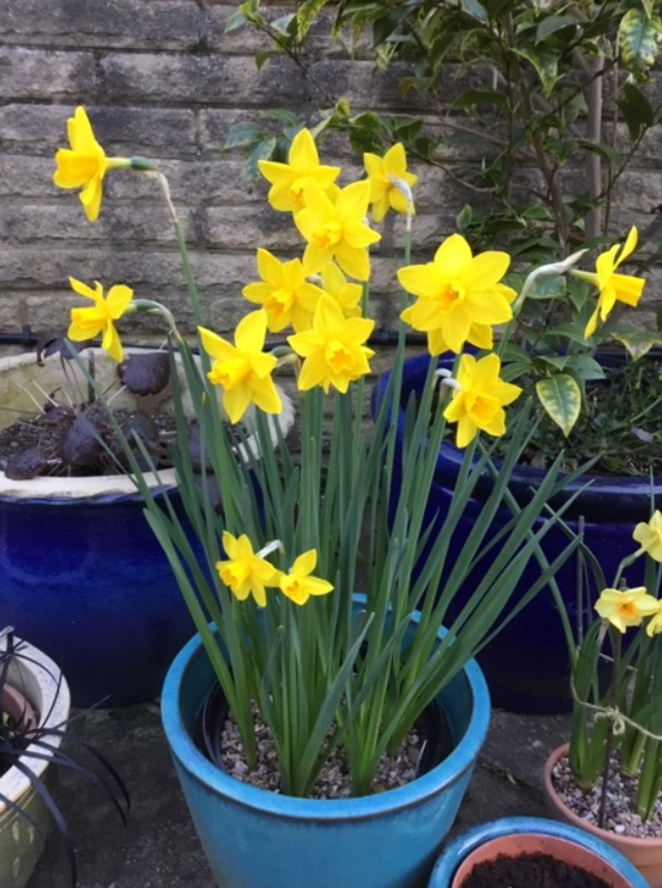 A pot of small yellow daffodils