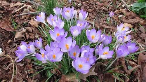A close-up of mauve crocuses with yellow centres