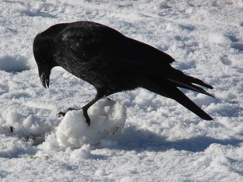 A crow making a snow ball